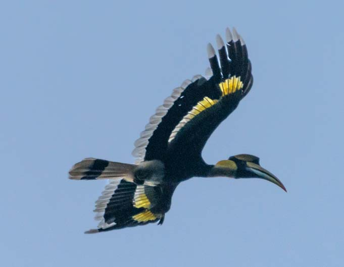 Great hornbill Cheow Lan Lake Khao Sok National Park Thailand