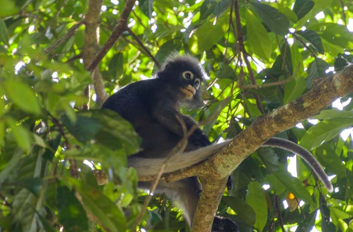 Dusky Leaf Monkey Jungle Tour Khao Sok National Park Thailand