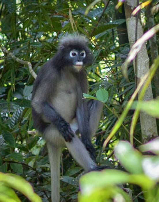 Dusky Leaf Monkey Khao Sok National Park Thailand