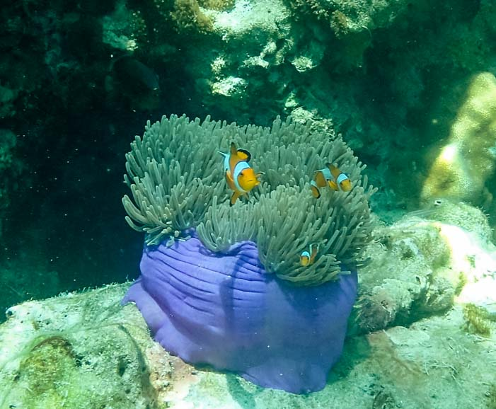 Nemo clown fish Dive and Relax Snorkeling Tour of Ko Rok in Ko Lanta Thailand