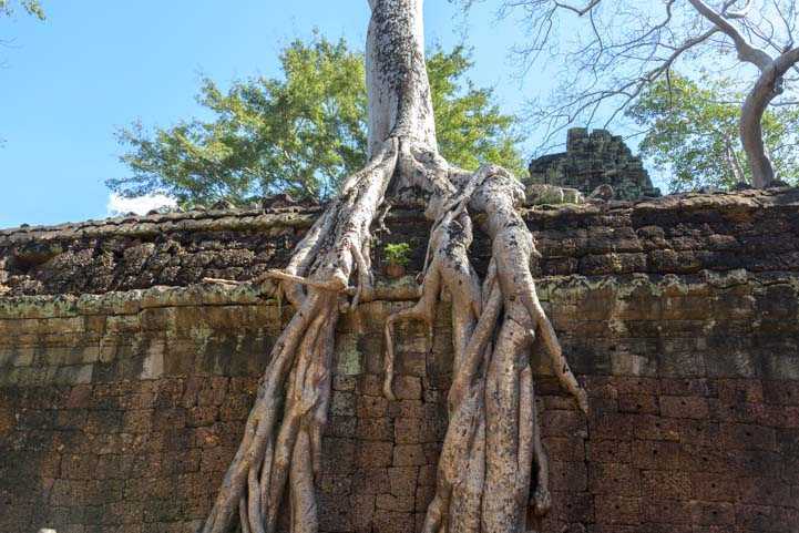 Roots on wall at Ta Prohm Angkor Siem Reap Cambodia