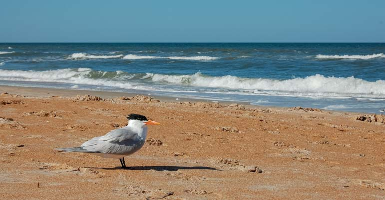 A tern on the beach in Florida