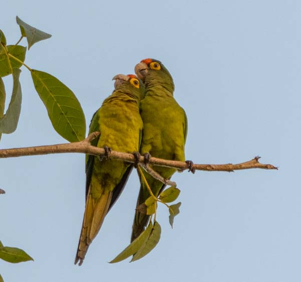 Wild parrots Santa Cruz Huatulco Mexico