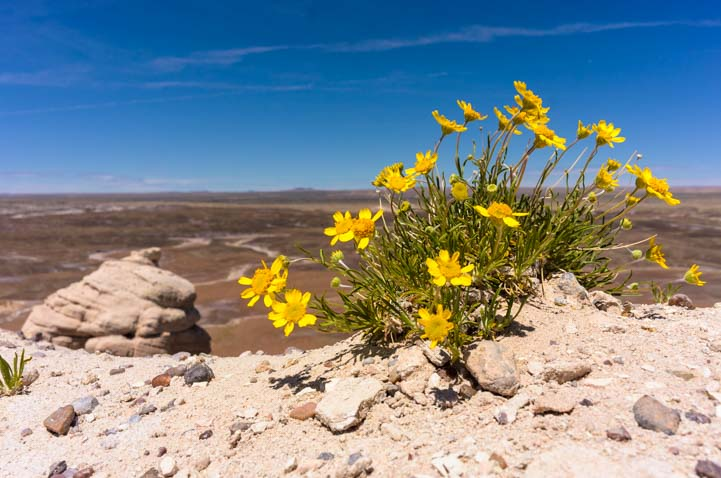 Yellow wildflowers Blue Mesa Trail Petrified Forest National Park Arizona