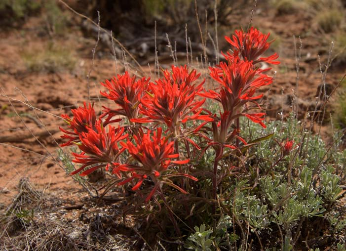 Indian Paintbrush Canyon de Chelly National Monument Arizona