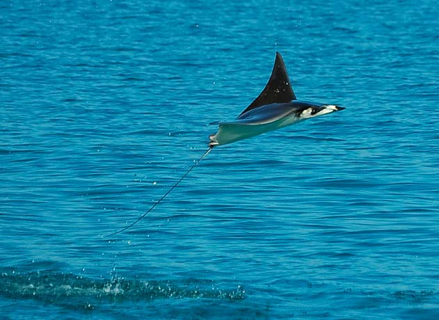 Flying mobula ray or manta ray Sea of Cortez Baja California Mexico