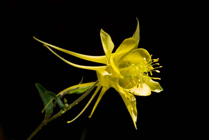 Yellow columbine flower