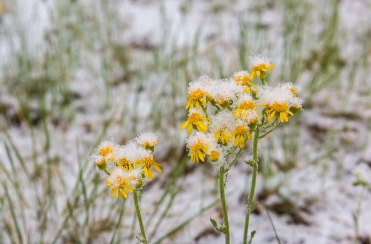 Snow on wildflowers Los Alamos New Mexico