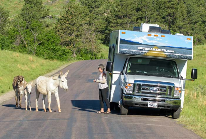 Wild burros with RV Custer State Park South Dakota