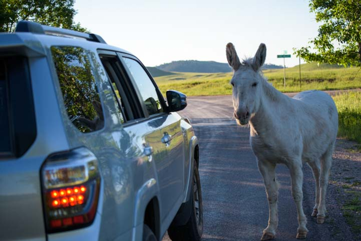 Car with wild burro Wildlife Loop Custer State Park South Dakota