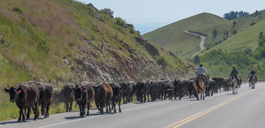 Cattle drive across highway