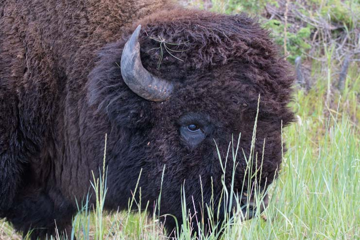 Buffalo head through the grass Wildlife Loop Custer State Park South Dakota