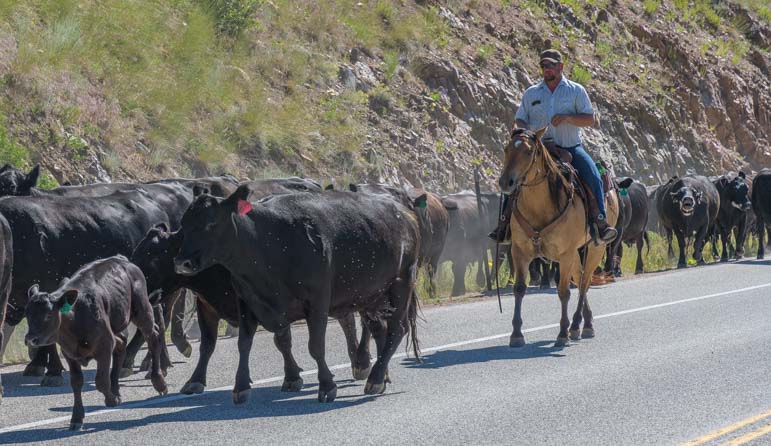 Cattle drive on horseback