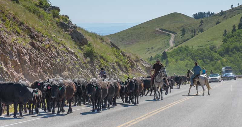 Slow traffic for horseback cattle drive on highway