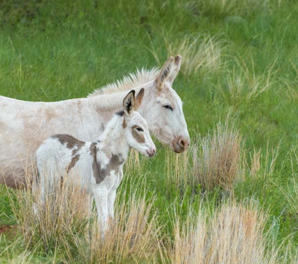 Mare and foal wild burros Custer State Park South Dakota
