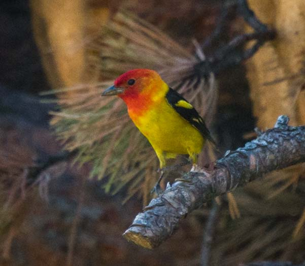 Western Tanager Black Hills National Forest South Dakota