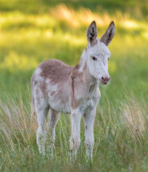 Wild foal Custer State Park South Dakota