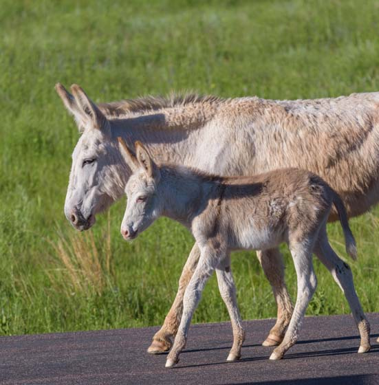 Wild burro mare and foal Custer State Park South Dakota