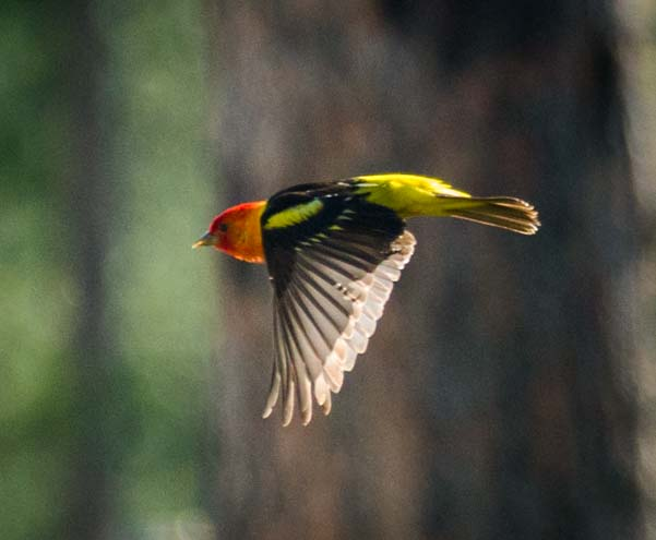 Flying Western Tanager Black Hills National Forest South Dakota