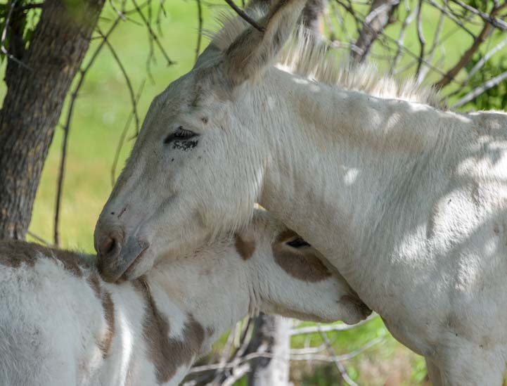 Wild burros nuzzing Custer State Park Wildlife Loop South Dakota