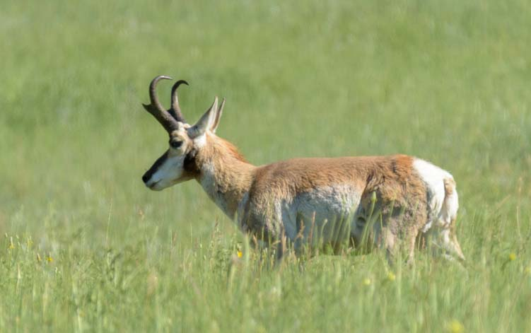 Pronghorn antelope Custer State Park South Dakota