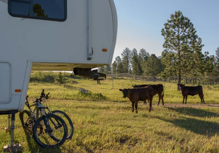 Cows around fifth wheel trailer RV Black Hills National Forest South Dakota