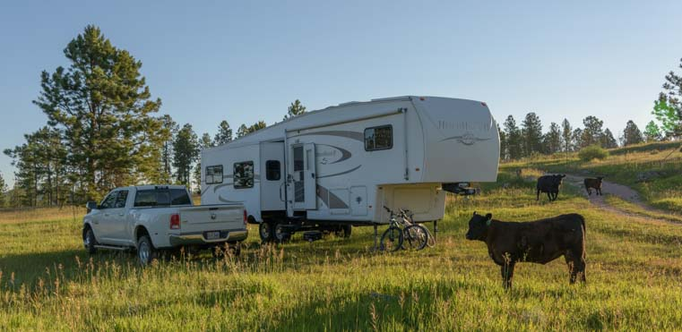 Fifth wheel trailer RV boondocking with cows in the National Forest