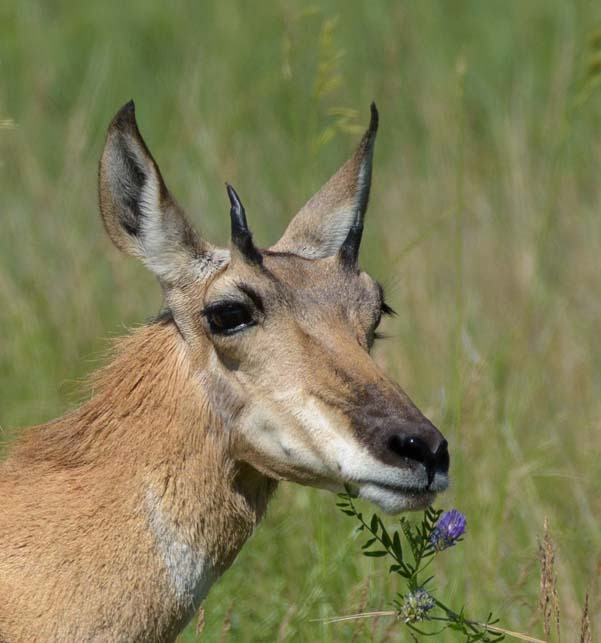 Pronghorn eating flowers Custer State Park South Dakota
