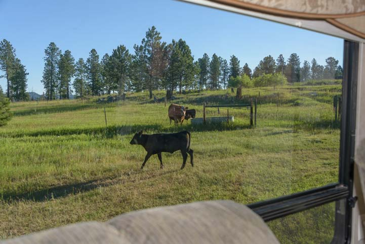 Cow outside fifth wheel trailer RV Black Hills National Forest South Dakota