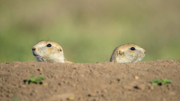 Two prairie dogs in a burrow Wildlife Loop Custer State Park South Dakota-1