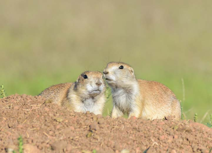 Pair of prairie dogs Custer State Park South Dakota
