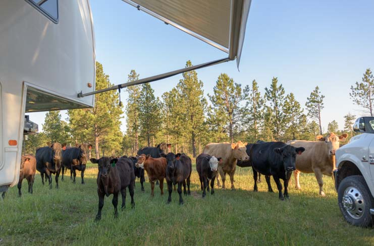 Fifth wheel camper with herd of cows in Black Hills National Forest