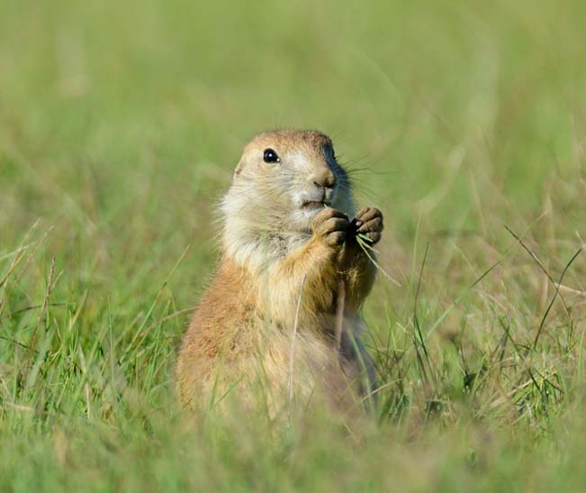 Prairie dog eating grass Wildlife Loop Custer State Park South Dakota