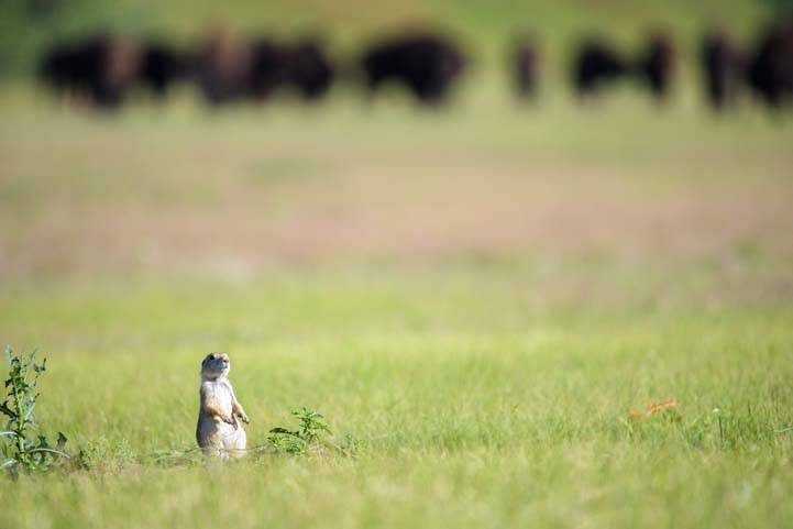Prairie dog stands up when herd of buffalo approach Custer State Park South Dakota