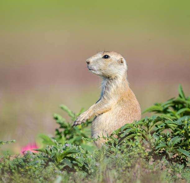 Custer State Park Wildlife Loop South Dakota Prairie Dog