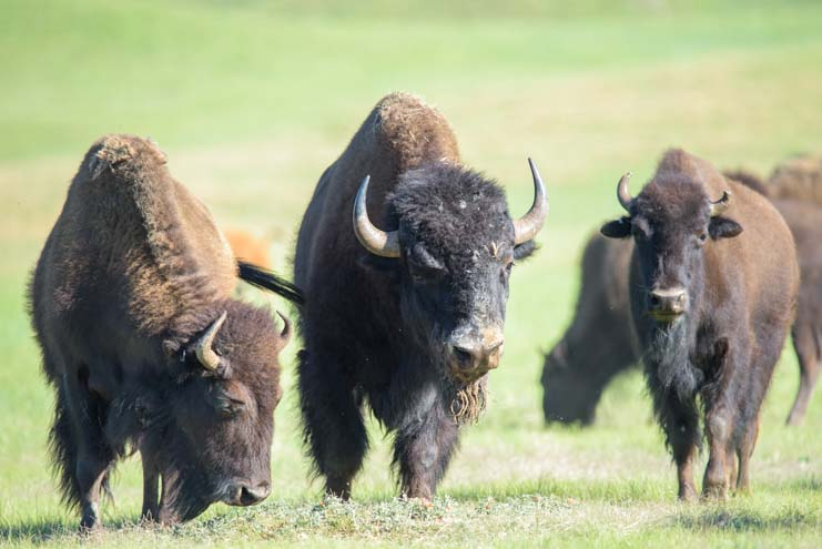 Bison herd Custer State Park South Dakota