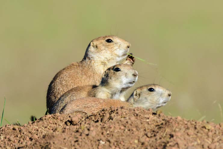 Prairie Dog trio Wildlife Loop Custer State Park South Dakota