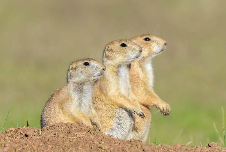 Prairie Dogs standing Custer State Park South Dakota