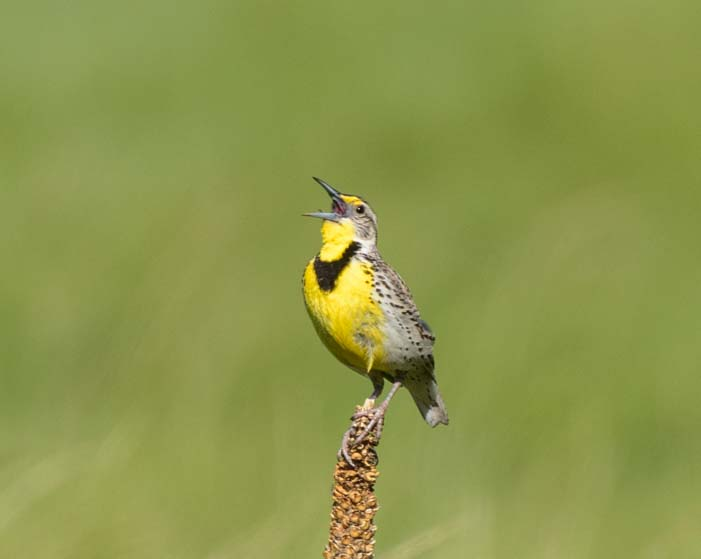 Meadowlark Custer State Park South Dakota