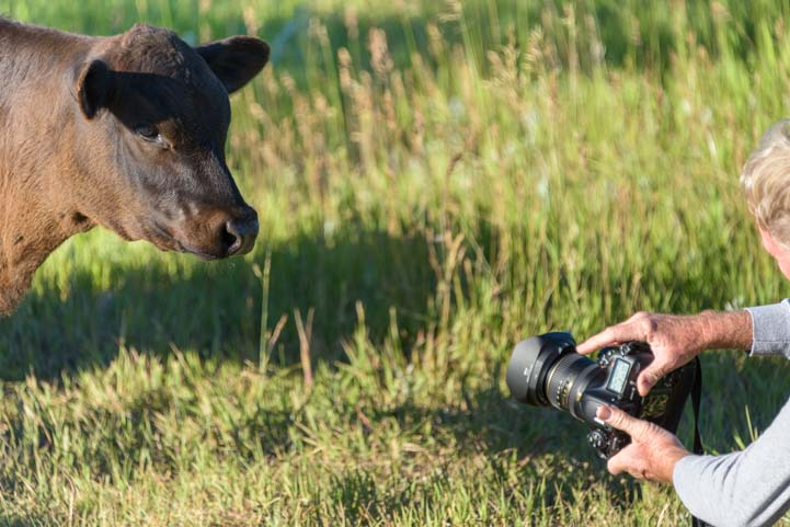 Cow checks out Nikon camera