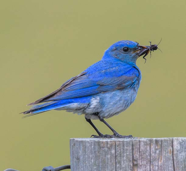 Mountain bluebird holding bug Custer State Park Wildlife Loop South Dakota