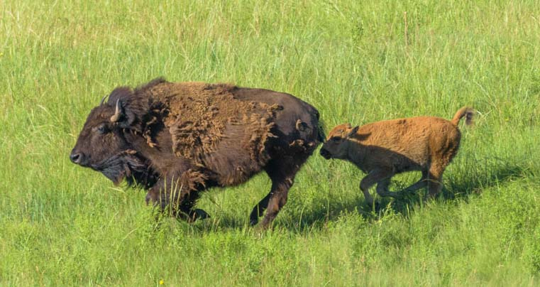 Buffalo cow and calf runnning in Custer State Park South Dakota