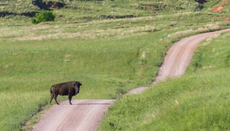 Buffalo on dirt road Wind Cave National Park and Custer State Park south Dakota