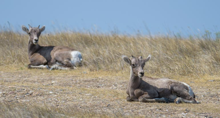 Resting big horn sheep solar eclipse 2017 Badlands National Park South Dakota