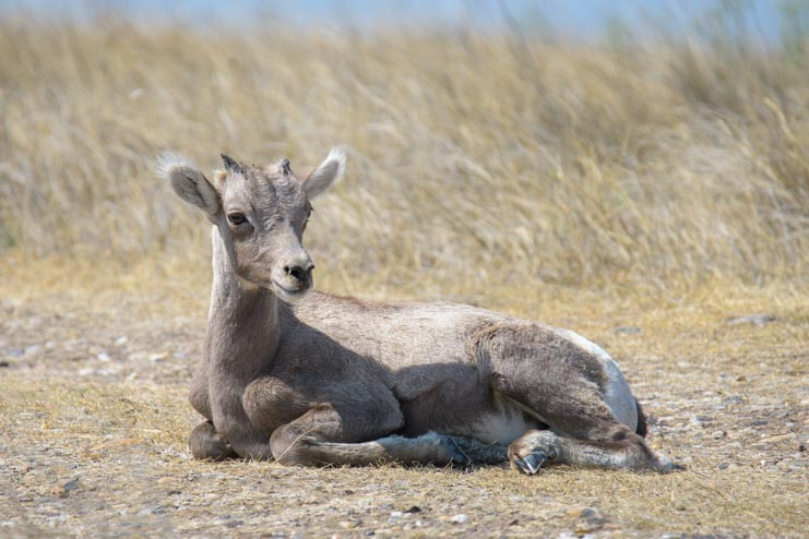 Baby Big horn sheep solar eclipse 2017 Badlands National Park South Dakota-2
