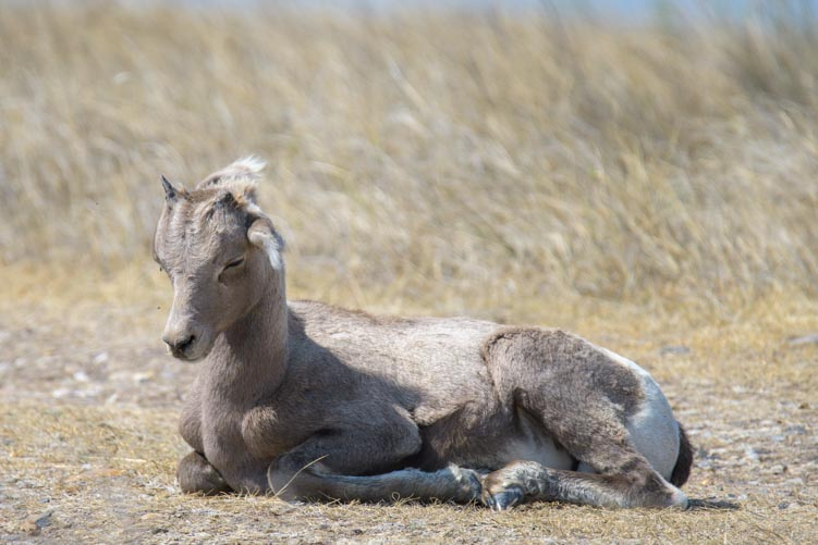 Sleeping Baby Big horn sheep solar eclipse 2017 Badlands National Park South Dakota