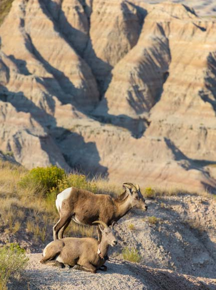 Bighorn Sheep Badlands National Park Overlook South Dakota