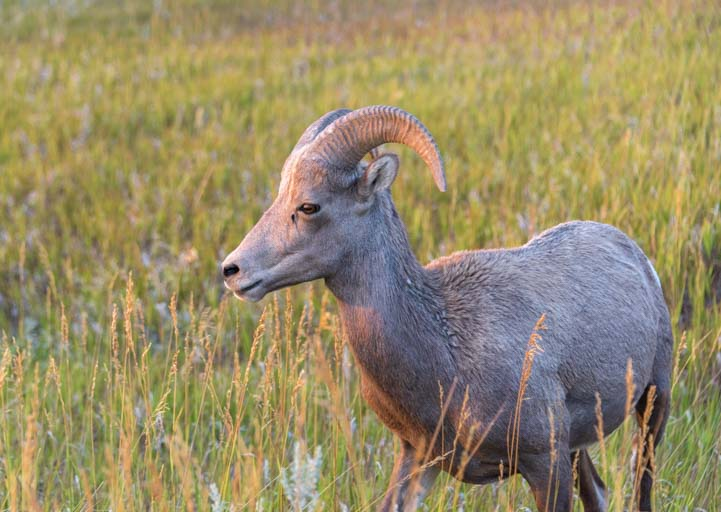 Bighorn sheep in the prairie grasses Badlands South Dakota