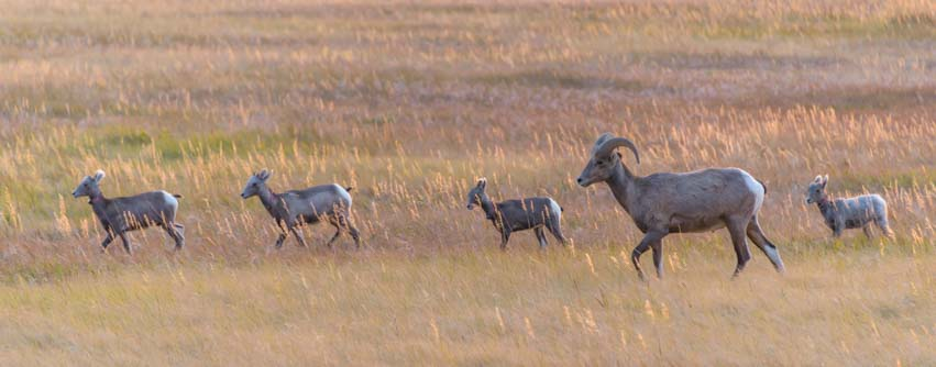 Big horn sheep family at sunset Badlands South Dakota