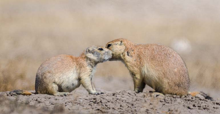 Prairie Dog Secrets Badlands National Park South Dakota